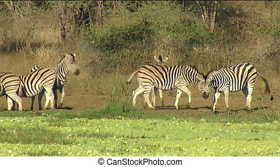 Burchell's zebra at waterhole - Burchell's zebra (Equus...