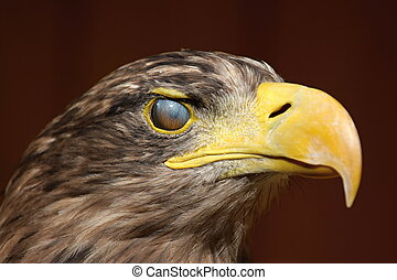 Eyewink, Sea eagle (Haliaeetus albicilla), ZOO Jihlava