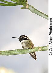 Costas hummingbird - Close up of a Costas hummingbird on the...