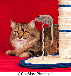 Cute siberian cat - Siberian cat playing with scratching...