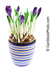 violet crocuses in a pot isolated