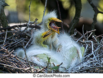 Hungry Chicks - Great white egret feeding chicks in the nest...
