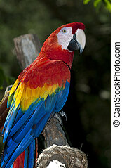 Colorful Macaw - Very colorful parrot perched in a tree...
