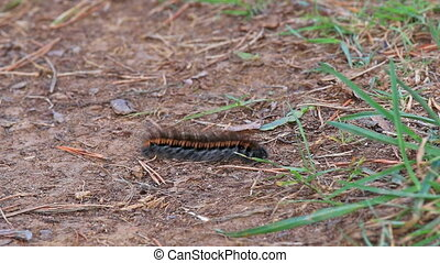 Big caterpillar with long hair