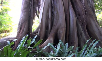 Ficus with banyan roots growing in botanical garden in...