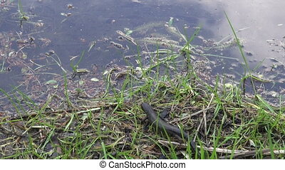 Newt crawling into the pond - Northern crested newt Triturus...