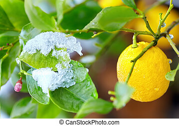 abnormal weather for tropical lemon plant