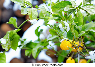 abnormal weather for tropical lemon tree