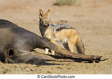Black backed jackal eating wildebeest carcass in kgalakgadi