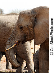African elephants at a waterhole - Portrait of african...