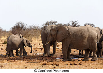 herd of African elephants at a waterhole. True wildlife...