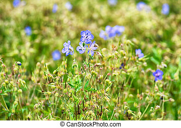 cornflowers - lot of cornflowers on green field