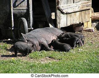 Swine Family - pig,