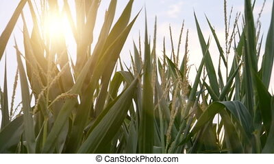 close up of a cornfield on a sunny day - Close up of a...