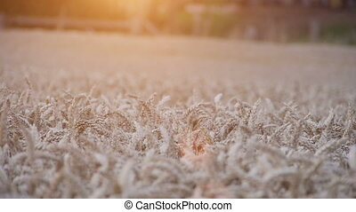 close up of a wheat field with sundown - Close up of a wheat...