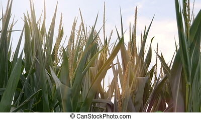 cornfield with sunreflections - Close up of a green...