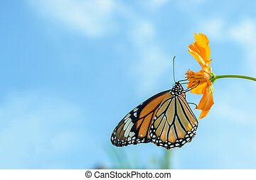 Monarch butterfly feeding on cosmos flowers against blue sky