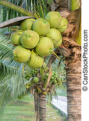 Closeup a Bunch of Coconuts at coconut Tree