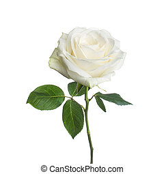 single white rose isolated background - single beautiful...