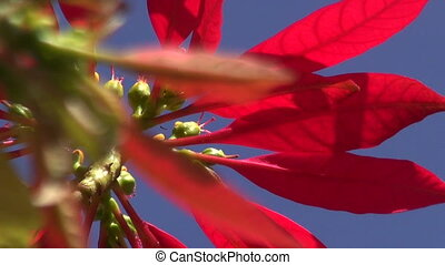 Wild flowering poinsettia - Wild red flowering poinsettia...