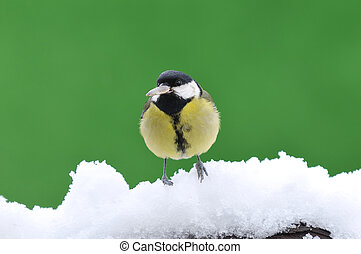 Little tit sitting on snowy branch against of green...