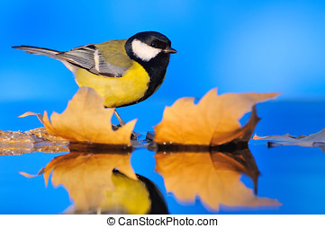 Close-up of tit sitting on autumnal leaves Blue background...