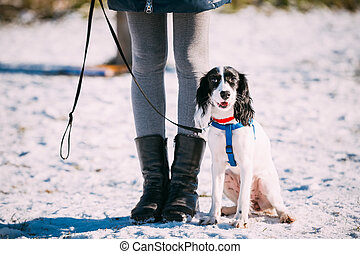 Russian Spaniel dog sits near owner during training.