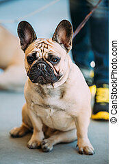 French Bulldog is small breed of domestic dog - The French...