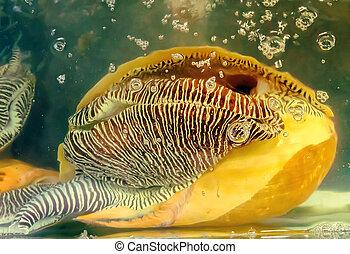 triton, mollusque, trompette, atlantique, coquilles