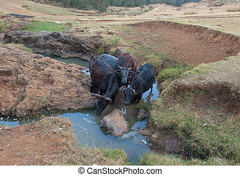 Ethiopian cow at the watering - Ethiopia Addis Ababa,...