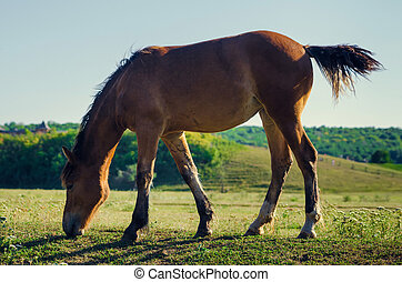 brown horse eating green grass and swish tail backlight...