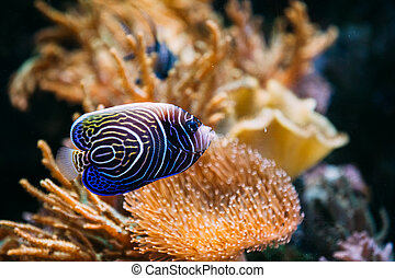 Pomacanthus navarchus blue angel sea fish in aquarium.
