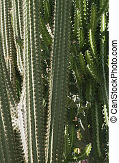 succulent thorny high in exotic garden