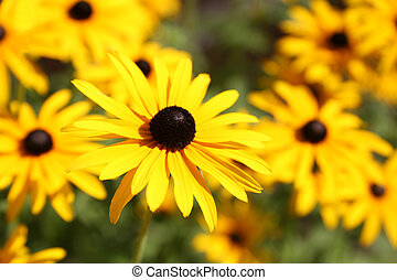 Vibrant Rudbeckia flowers, for backgrounds or textures