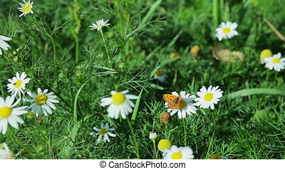 butterfly on  a camomile