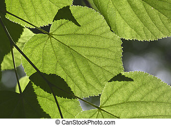 Linden tree leaves - Green leaves on a linden tree in...