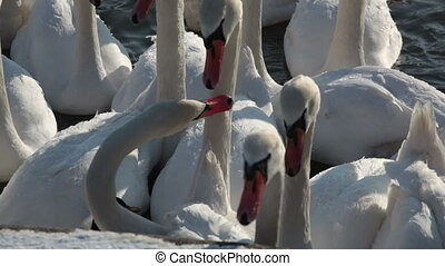 A large flock of white swans close up