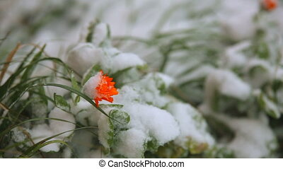 Frozen orange flower in the snow. - Frozen orange flower in...