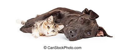 Pit Bull Dog and Kitten Cuddling - Friendly Pit Bull mixed...