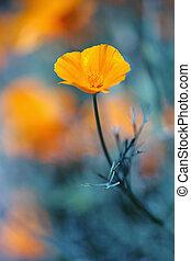 California golden poppie in deep blue - Short deep of field...