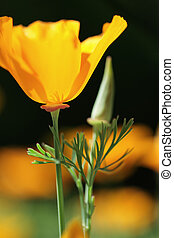 California orange poppies on black - Opened and non opened...