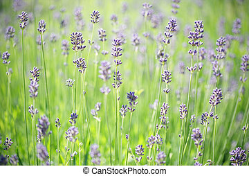 Lavender stems - Short deep of field on lavender stems in...