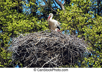 Family of White stork Ciconia ciconia in the nest, animal...
