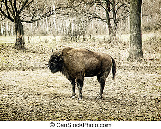 European bison Bison bonasus grazing in the meadow, animal...