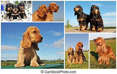 cocker spaniel - composite picture with purebred dogs and...
