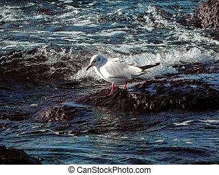 Caspian gull. - Seagull on rocky shore. Caspian Sea....