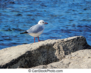 Caspian gull - Seagull on rocky shore Caspian Sea Kazakhstan...