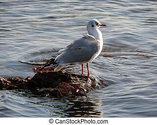 Caspian gull. - Seagull on rocky shore. Caspian Sea....