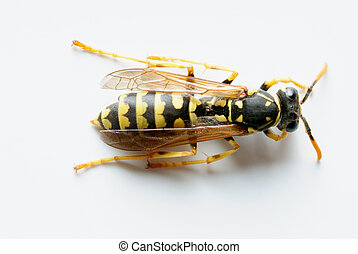 Isolated Wasp