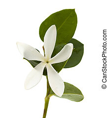 Carissa macrocarpa flower - white flower of Carissa...